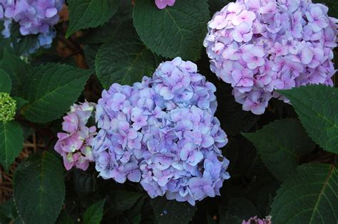 expert advice the 10 best hydrangeas to grow right now or any time gardenista