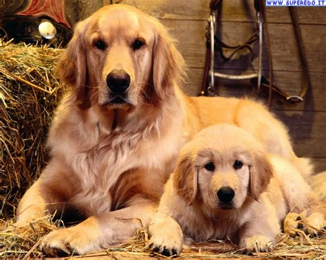golden retriever desktop wallpaper golden retriever wallpapers 24 hd wallpapers