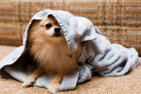 all about pomeranians 10 not so fluffy facts about pomeranians mental floss