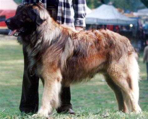 leonberger dogs the leonberger in big our dogs and us