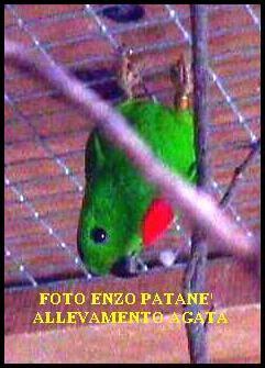 loricolo dalla corona blu uccelli allevamento accessori