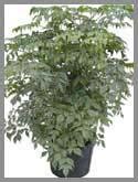 china doll aralia plant plant marketing foliage