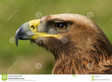 golden eagle light covers golden eagle head royalty free stock photo