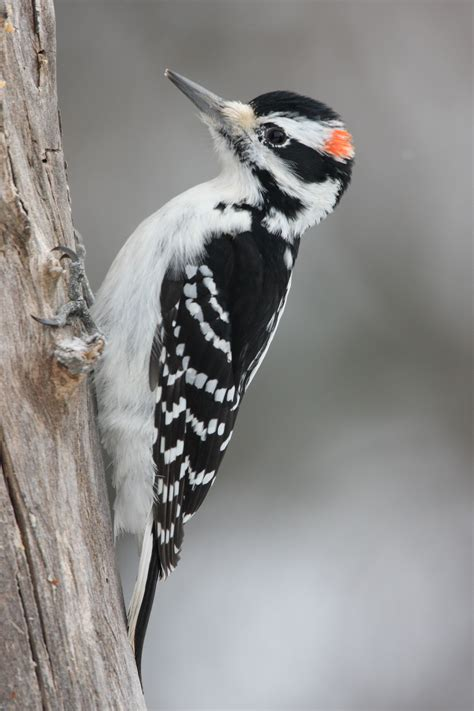 how to deal with problem woodpecker in new york