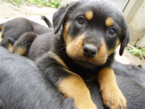 rottweiler characteristics my fianc 233 e and i just got our puppy together from the local shelter we don t