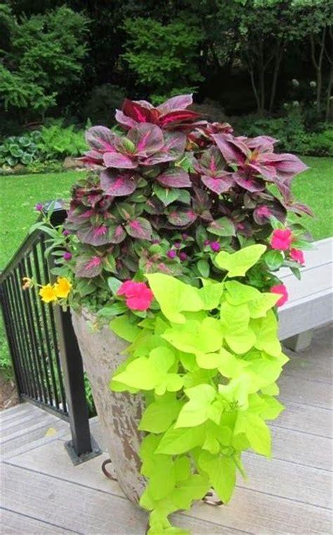 sun container garden ideas potato vines sweet potato vines and yellow sweet potato