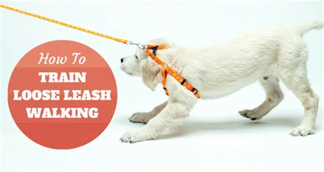 how to a not to pull while walking leash your golden retriever for no more pulling