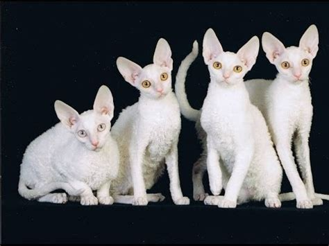 cornish rex white international cat show winner cat fife