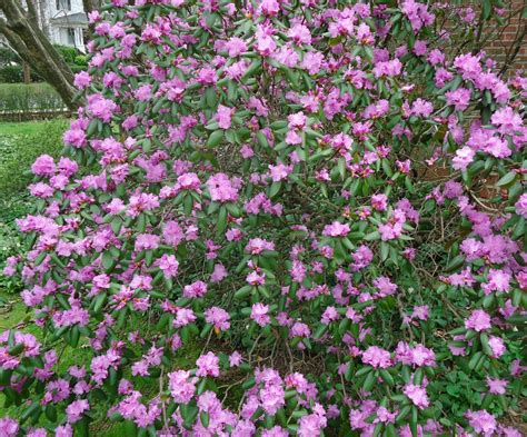 shrub with purple flowers file bush with purple flowers summit nj jpg wikimedia