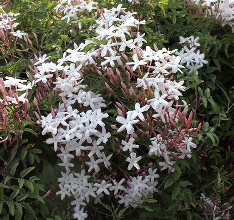 gelsomino vaso gelsomino jasminum polyanthum ricanti