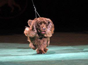 westminster show tickets westminster kennel club show tickets event dates schedule ticketmaster