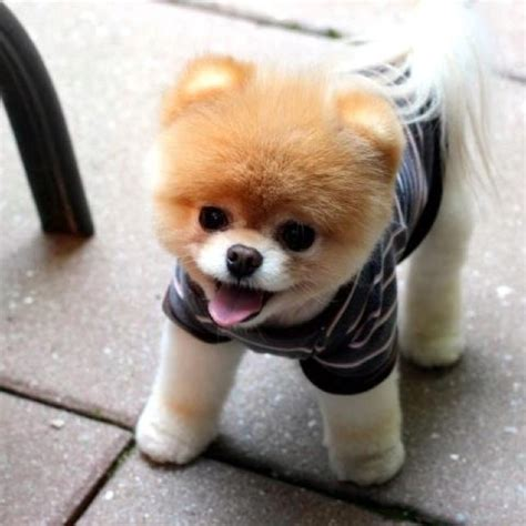 cut pomeranian teddy cut on a pomeranian puppy