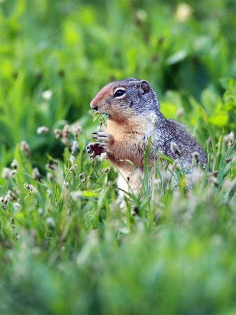 how to get rid of a gopher in my backyard how to get rid of gophers moles and armadillos