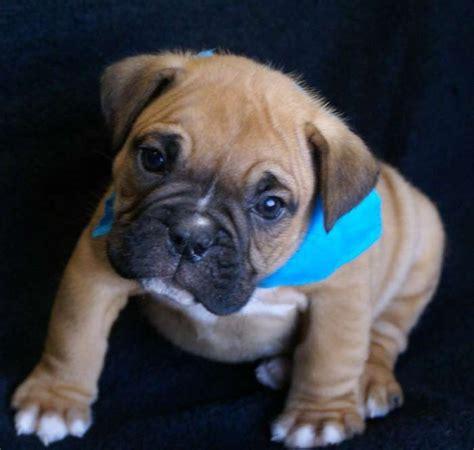 bulldog puppies for adoption pin bulldog puppies for adoption manchester on