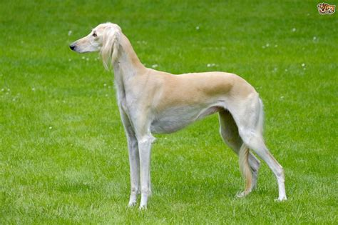 breeds and information saluki breed information buying advice photos and
