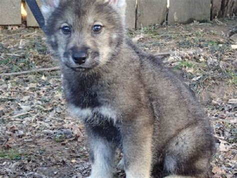 wolf dogs for sale wolf dogs for sale
