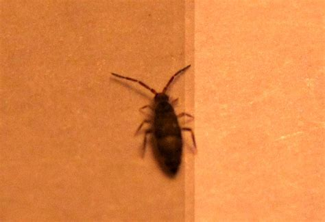 springtails in bathroom springtails inside home what s that bug