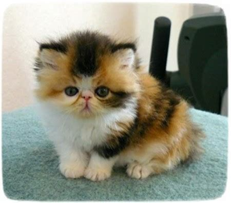 Types Of Haired Cats by Haired Cats Pictures Cats Pet Photos Gallery