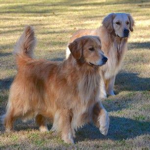 boomer golden retriever 17 best images about golden retrievers on beautiful dogs the golden and