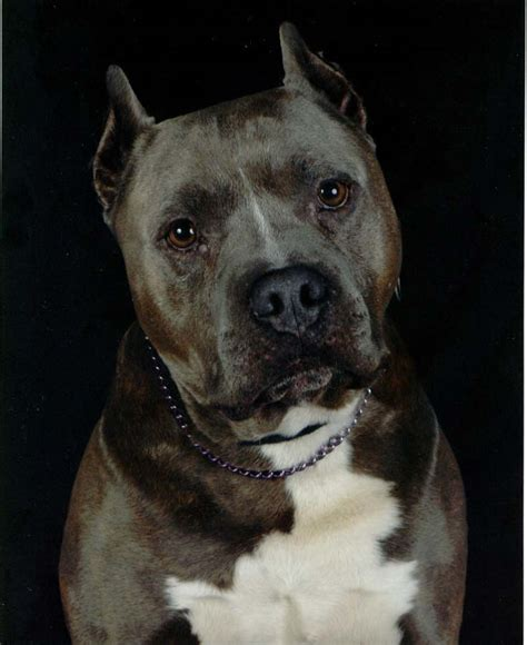 Pit Bull Breeds Also Search For Pit Bull Pictures Pics Images And Photos For Inspiration