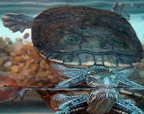 Do Painted Turtles Shed by Turtle