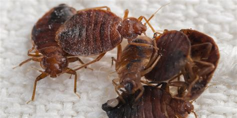 Photos Of Bed Bugs by Bed Bugs Find New Homes In Honolulu Ambulances Huffpost