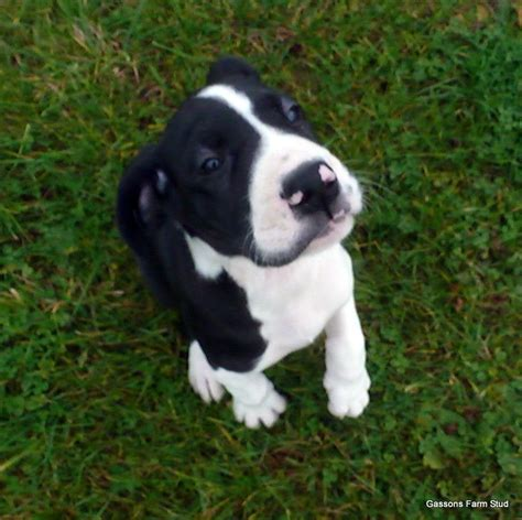 mantle great dane puppies absolutely stunning mantle great dane puppies cheltenham gloucestershire pets4homes