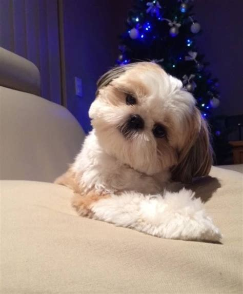 bichon shihtzu puppy cut 243 best images about shih tzu heaven on pinterest