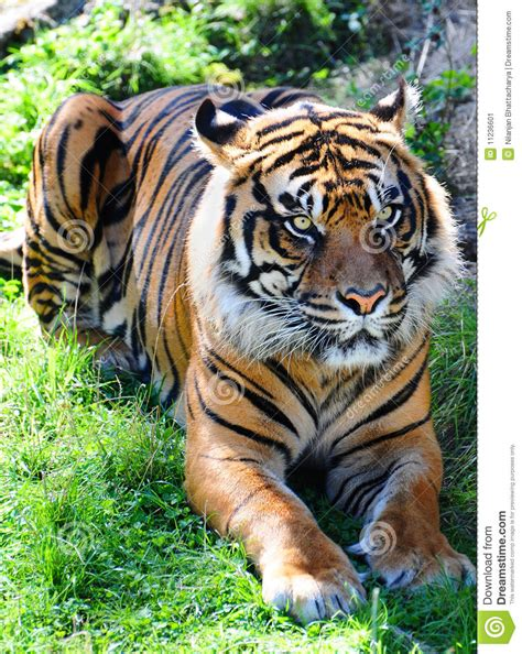 Couching Tiger by Crouching Tiger Stock Image Image 11236601