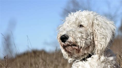 best clippers best hair grooming clippers for a goldendoodle