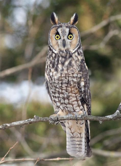 17 images about owls on pinterest short eared owl