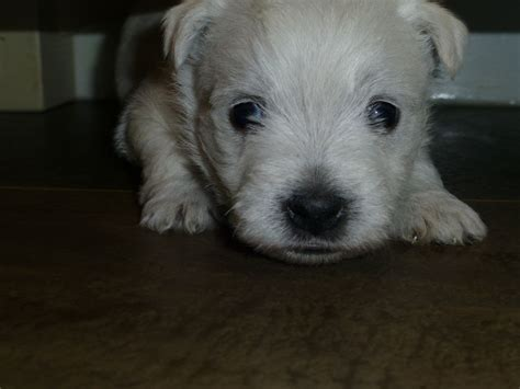 west highland white terrier puppies for sale white west highland terrier puppies for sale penrith cumbria pets4homes