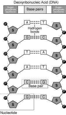 diagram and label a section of dna 3 3 dna structure biology4ibdp