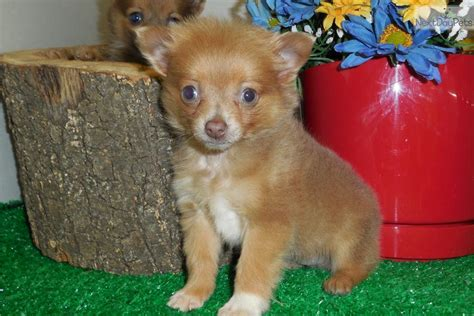 pomchi puppies pomchi puppy breeds picture