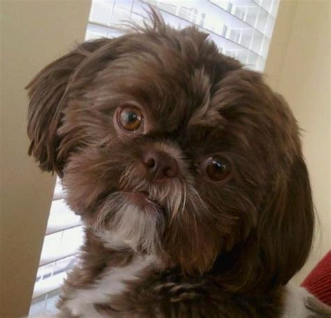 chocolate and white shih tzu shih tzu liver chocolate animais