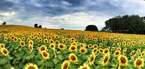 grinter farms most people don t know about this magical sunflower field
