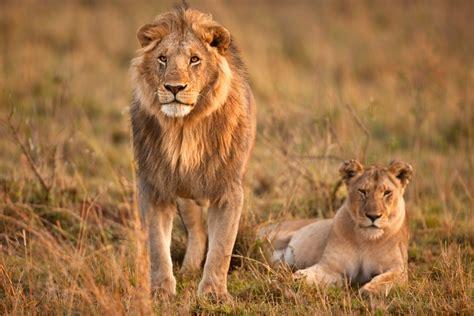 imagenes de leones solitarios imagenes de leones