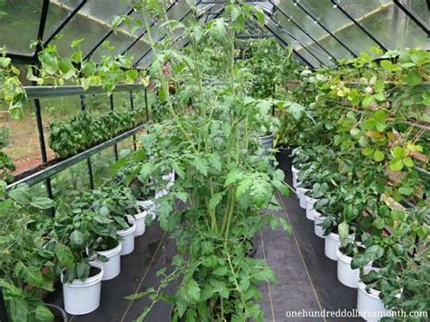 how to grow food in a greenhouse tomatoes basil