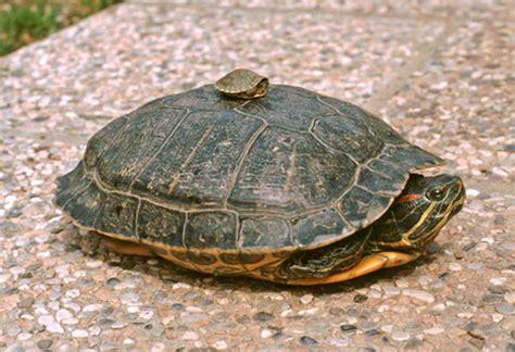 tartarughe in casa 400 tartarughe cercano casa con urgenza animalrepublic it