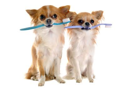 chihuahua puppy care dental care for chihuahuas chihuahua tips