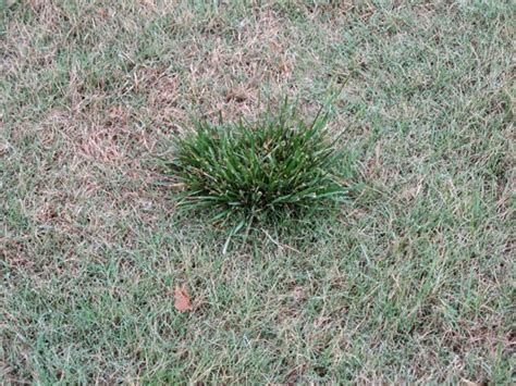 kentucky bluegrass vs bermuda 28 images to seed or