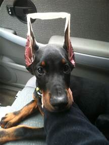 1823 best images about doberman on