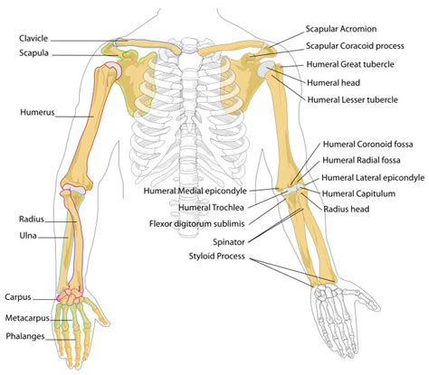 sections of the arm arm bones diagram human body pictures science for kids