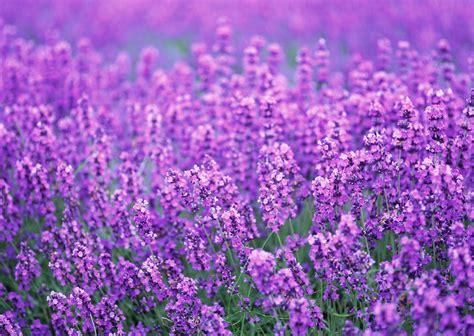 lavender the plant farm