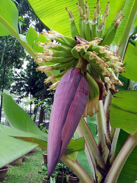 banana tree flower  stock photo public domain pictures