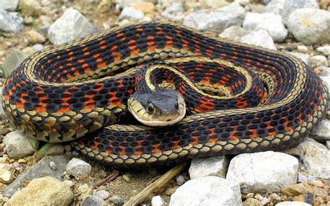 Garter Snake Meme 6 Garter Snake Hd Wallpapers Backgrounds Wallpaper Abyss