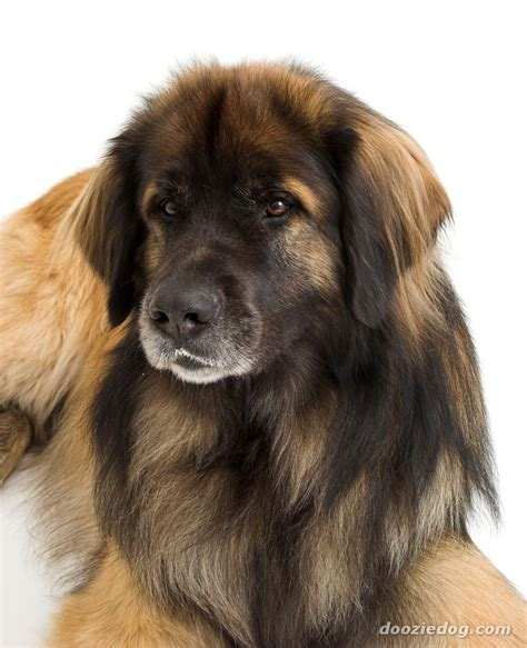 calm dogs calm breeds search breeds breeds information