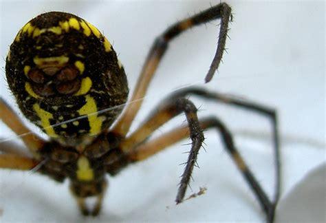 Garden Spider Belly Yellow Black Garden Spider Abdomen A Photo On
