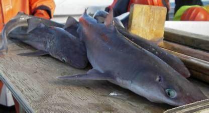 Minyak Ikan Per Botol dinomarket pasardino minyak hati ikan hiu botol cucut botol partai curah grosir