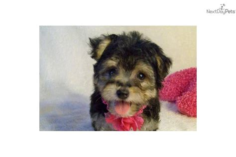 tiny yorkie poos meet a yorkiepoo yorkie poo puppy for sale for 799 sweet
